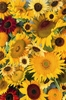 Sunflower Montage jigsaw puzzle