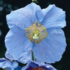 Blue Poppy Large square notebook