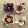 Hellebore Heads Large square notebook