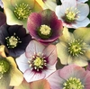 Hellebore Montage Large square notebook